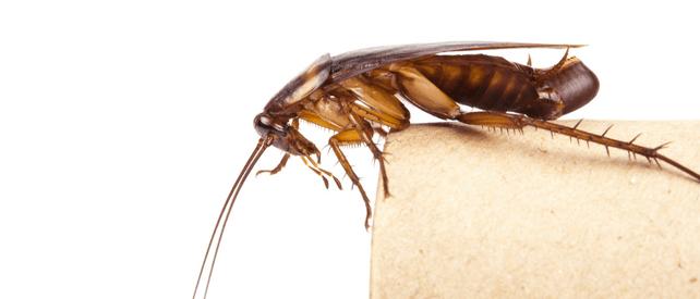 American cockroach eggs
