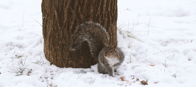 Where Do Squirrels Sleep in Winter