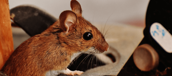 What attracts mice and rats