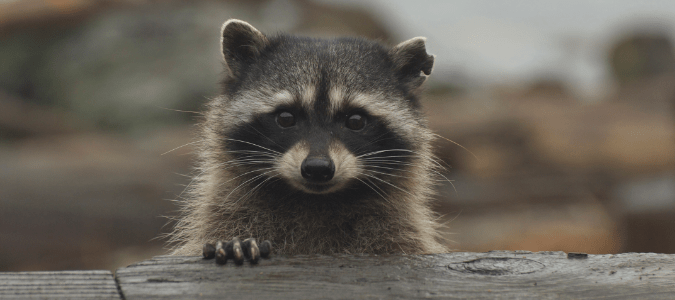How To Get Rid Of Raccoons Under Your Deck