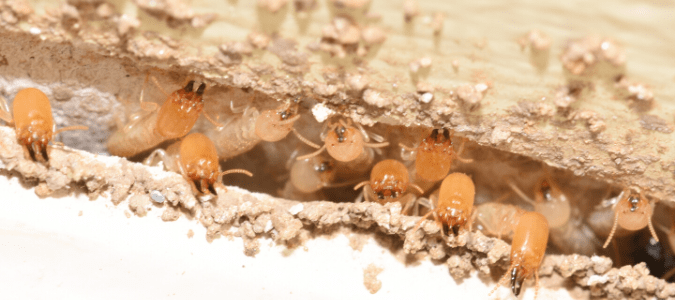Do Termites Make Noise? Your Questions Answered