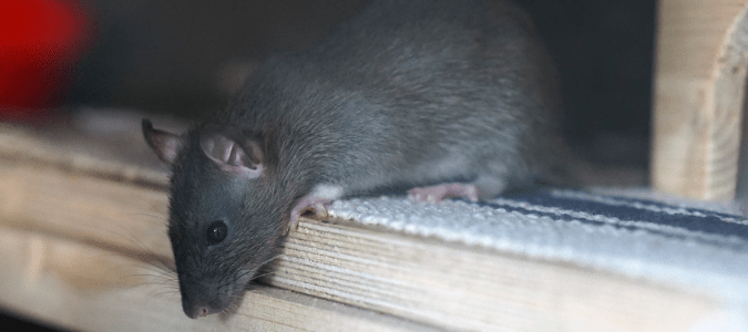 There Are Rats in My Ceiling: What Can I Do?