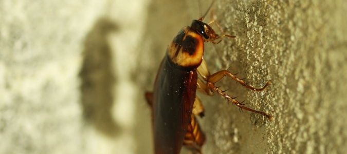 What To Do About Cockroaches With Wings?